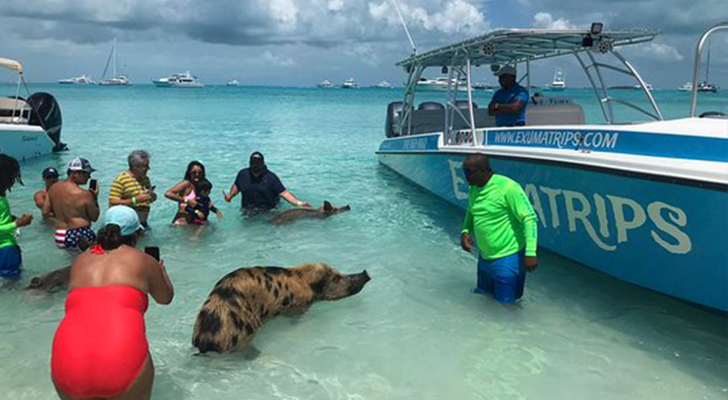 paradise island bahamas things to do famous swimming pigs excursion