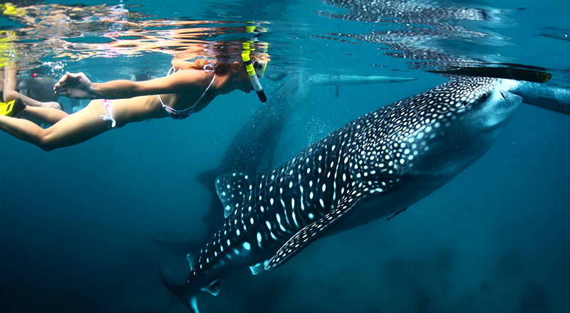 los cabos mexico fun things to do whale shark snorkeling excursion to la paz